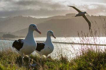 Dunedin - Albatrosser