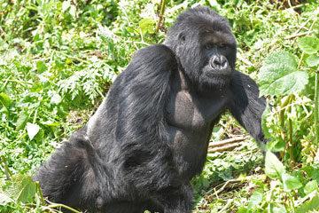 Turism ger gorillor hopp