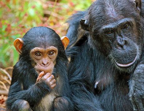 Dag 10: Schimpansernas rike