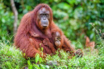 Orangutangcenter och Sarawak Kulturby