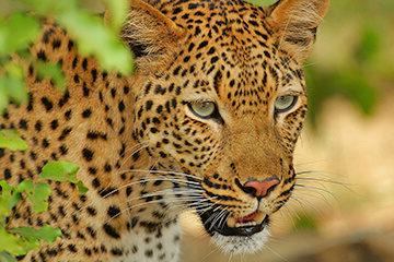 Safari i Krugerparken
