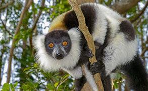 Lemurer på Madagaskar