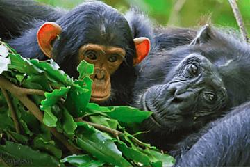 Schimpanser på Ngamba Island