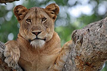 Lake Manyara nationalpark - Serengeti nationalpark