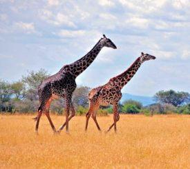 Tanzania med Ruaha och Selous