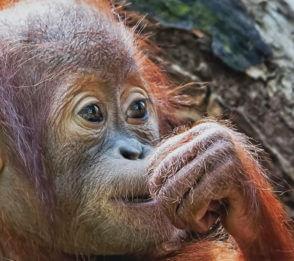 Borneos fantastiska djurliv