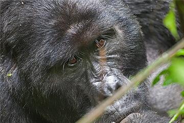Gorillaspårning i Bwindi nationalpark
