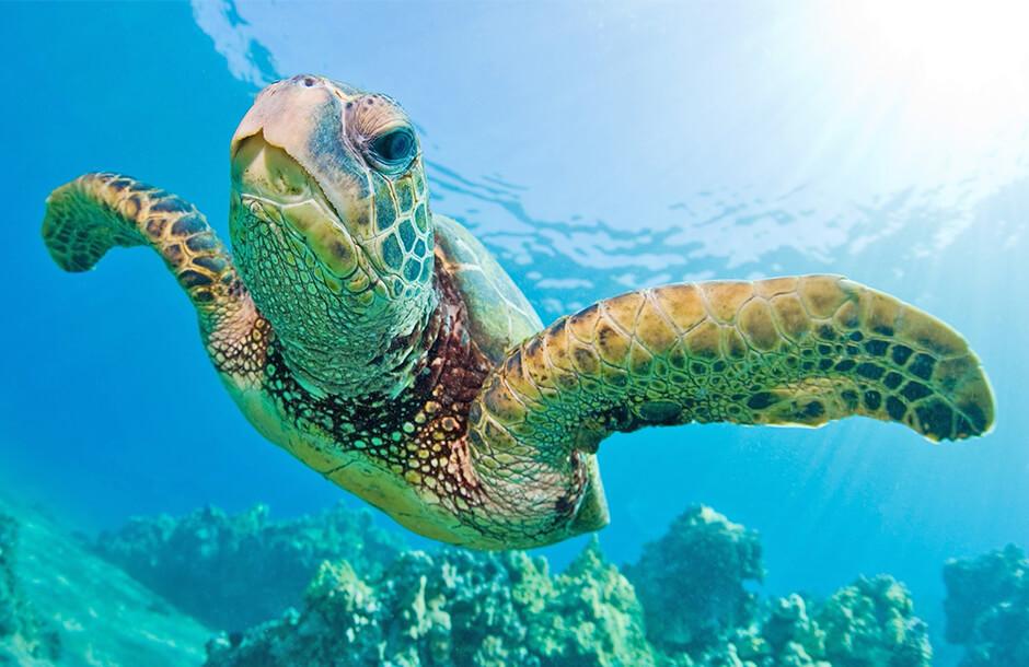 Sköldpaddsspårning