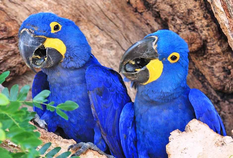 Djur i Pantanal, Brasilien