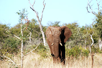 Big Five Safari i Kruger nationalpark
