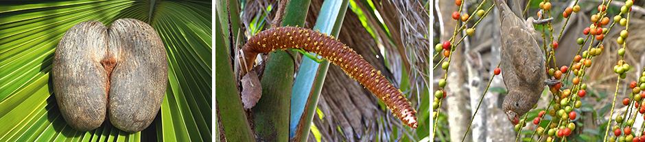 Seychellerna Valle de Mai