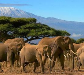 Safari i Amboseli