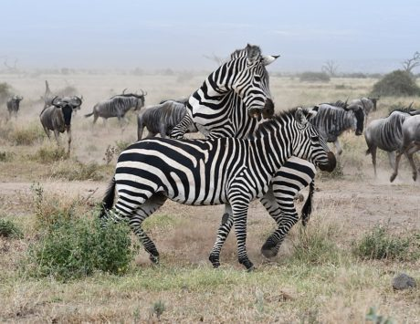 Dag 1: Ankomst Amboseli