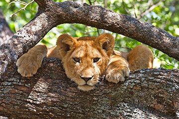 Ishashas trädklättrande lejon