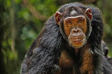 Schimpanser i Kibaleskogen